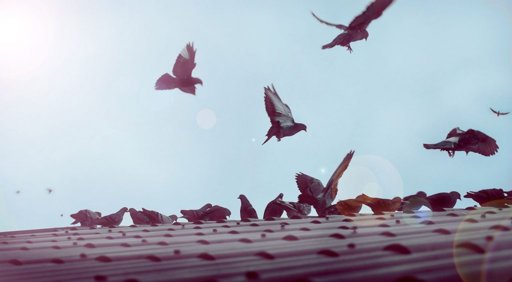 Flying,And,Resting,Of,A,Flock,Of,Pigeons,On,A