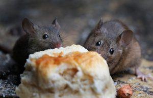 Two,Mice,Feeding,On,Baked,Scone,In,Urban,House,Garden.